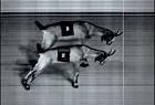 The National Ascot Goat Races: photo finish
