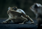 Falcon Ecoboost: Cane Toad Road