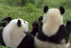 Jose Cuervo: Pandas eat cold takeaway