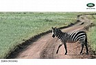 Land Rover: Zebra crossing
