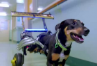 RACV Pet Insurance: Overconfidence Cover - Wheelchair