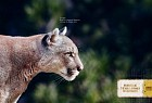 Amnesty International: Cougar
