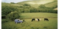 Landrover Commercial Vehicles: Cows