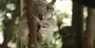Tax: Fascinated by Numbers, Koala
